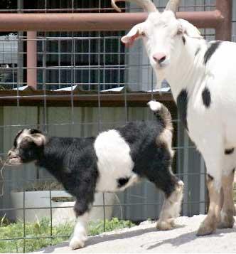 goat kidding