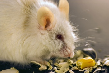 Rats and Mice as Pets for Kids to have